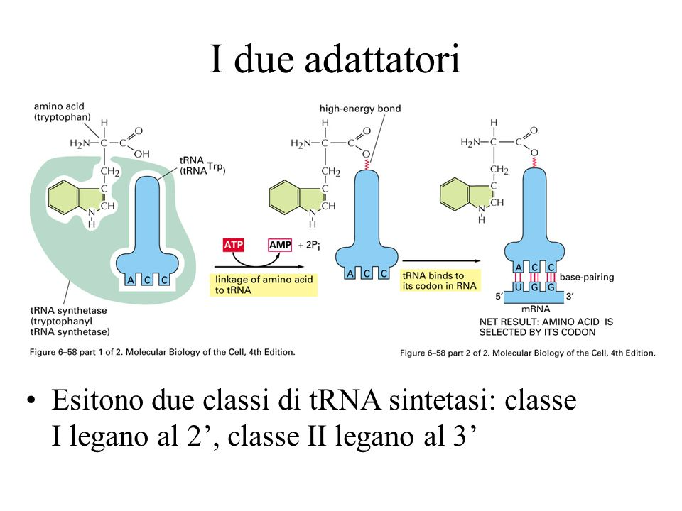I due adattatori Esitono due classi di tRNA sintetasi: classe I legano al 2', classe II legano al 3'