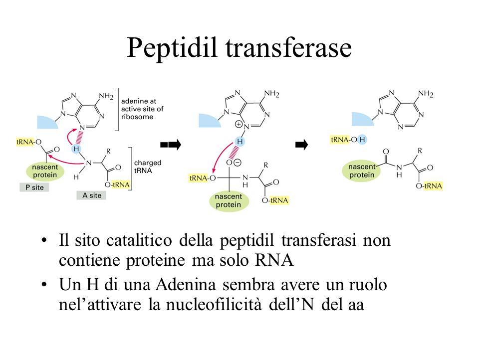 Peptidil transferase Il sito catalitico della peptidil transferasi non contiene proteine ma solo RNA.