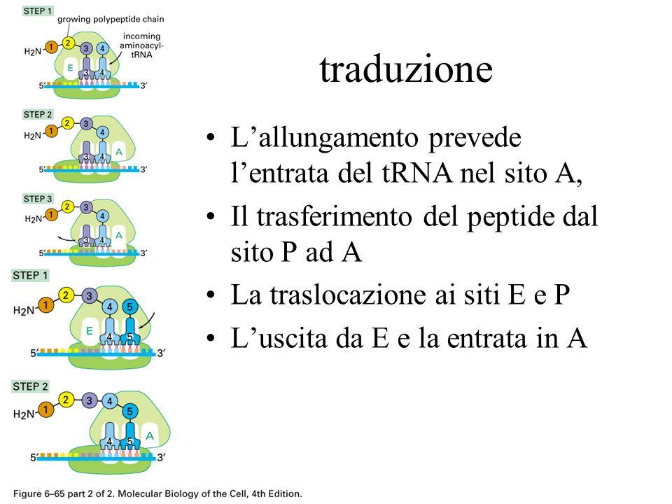 traduzione L'allungamento prevede l'entrata del tRNA nel sito A,
