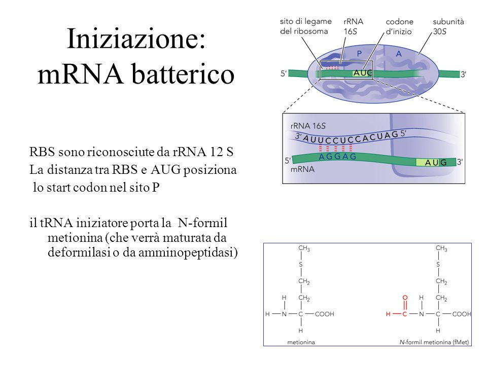 Iniziazione: mRNA batterico