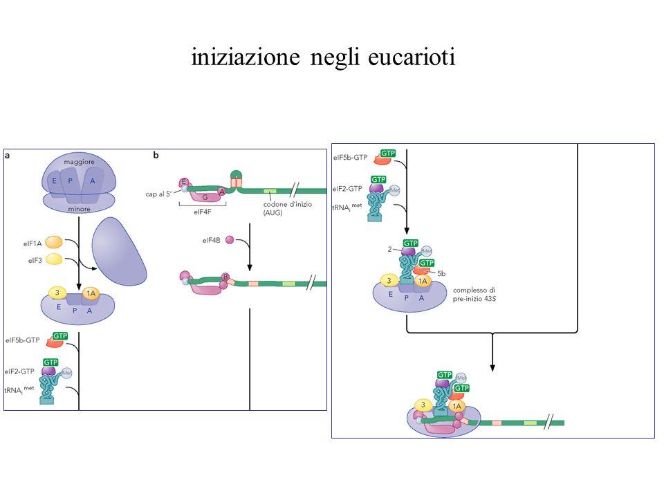 iniziazione negli eucarioti