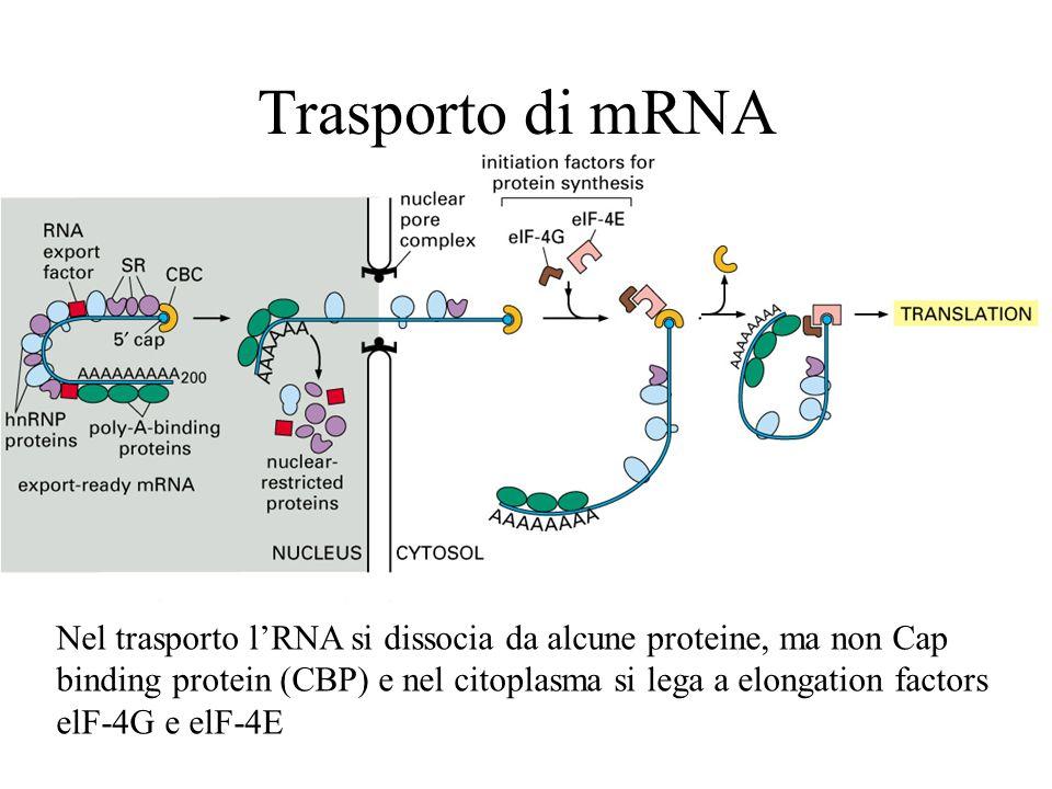 Trasporto di mRNA