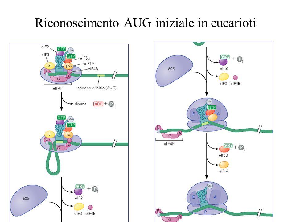 Riconoscimento AUG iniziale in eucarioti