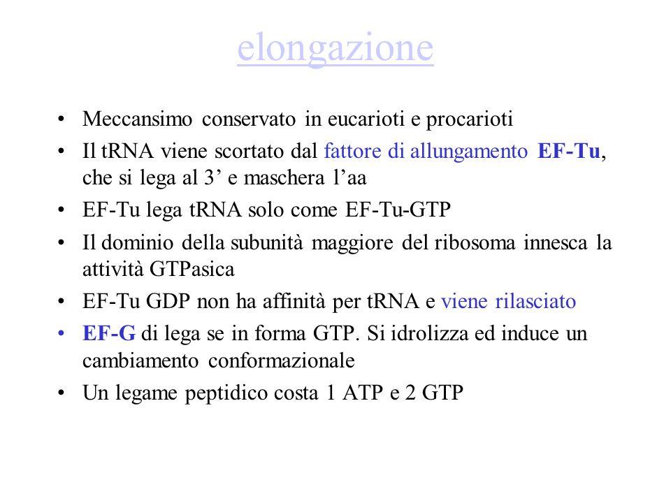 elongazione Meccansimo conservato in eucarioti e procarioti