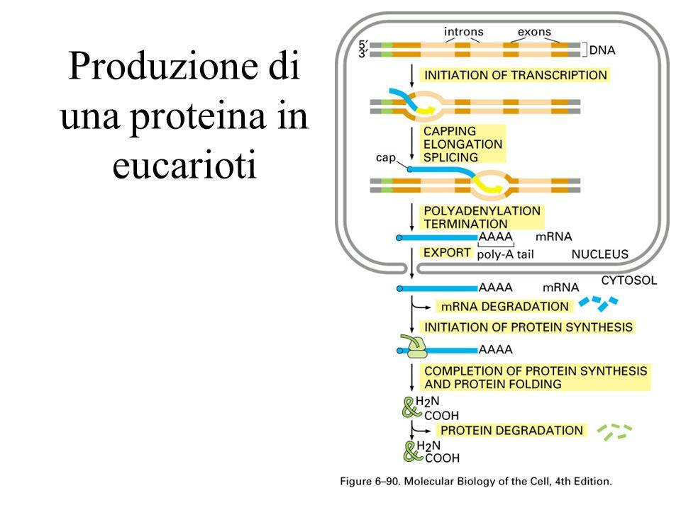 Produzione di una proteina in eucarioti