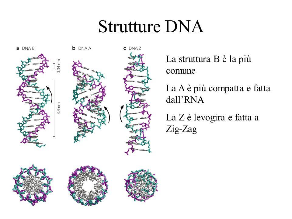 Strutture DNA La struttura B è la più comune