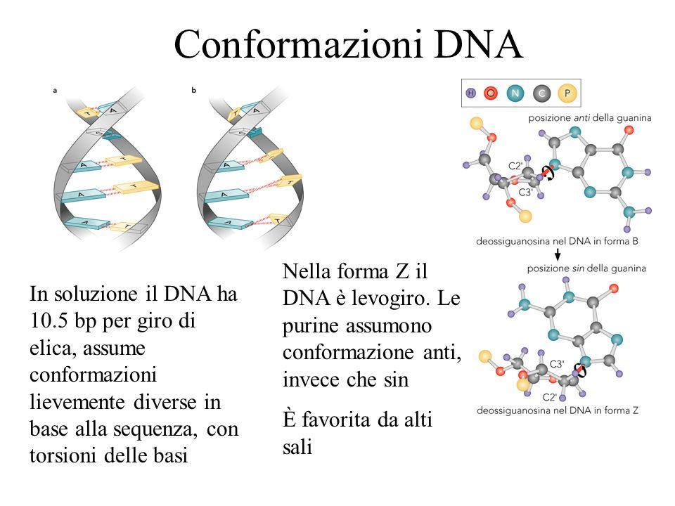 Conformazioni DNA Nella forma Z il DNA è levogiro. Le purine assumono conformazione anti, invece che sin.