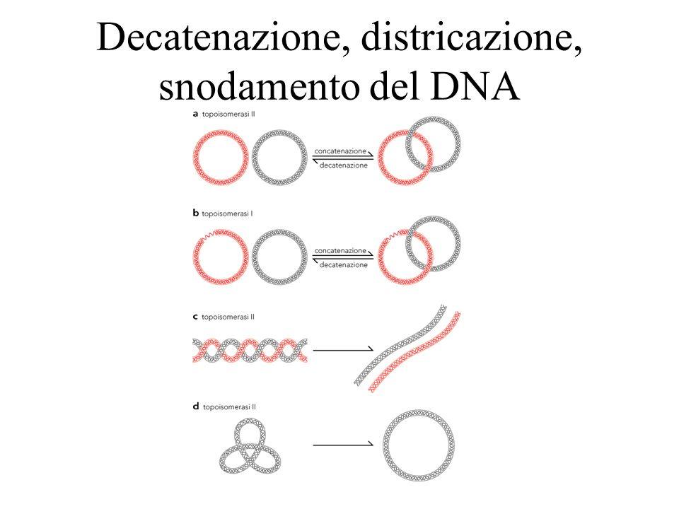 Decatenazione, districazione, snodamento del DNA