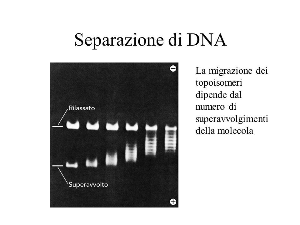 Separazione di DNA La migrazione dei topoisomeri dipende dal numero di superavvolgimenti della molecola.