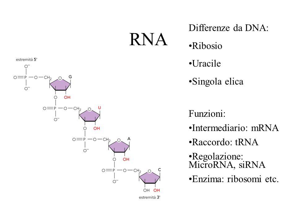 RNA Differenze da DNA: Ribosio Uracile Singola elica Funzioni: