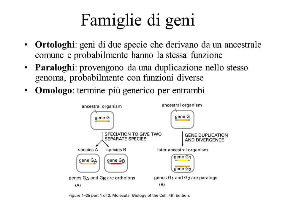 Famiglie di geni Ortologhi: geni di due specie che derivano da un ancestrale comune e probabilmente hanno la stessa funzione.