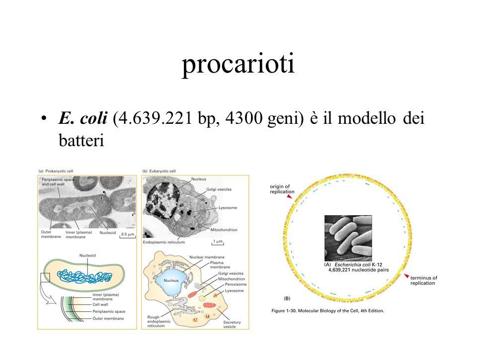 procarioti E. coli (4.639.221 bp, 4300 geni) è il modello dei batteri