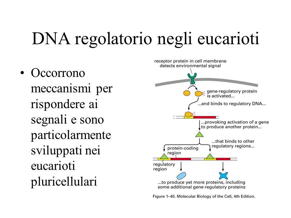 DNA regolatorio negli eucarioti