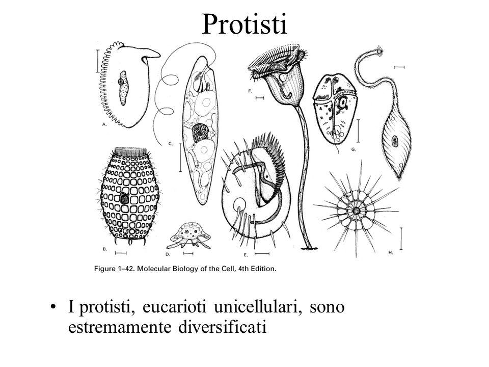 Protisti I protisti, eucarioti unicellulari, sono estremamente diversificati