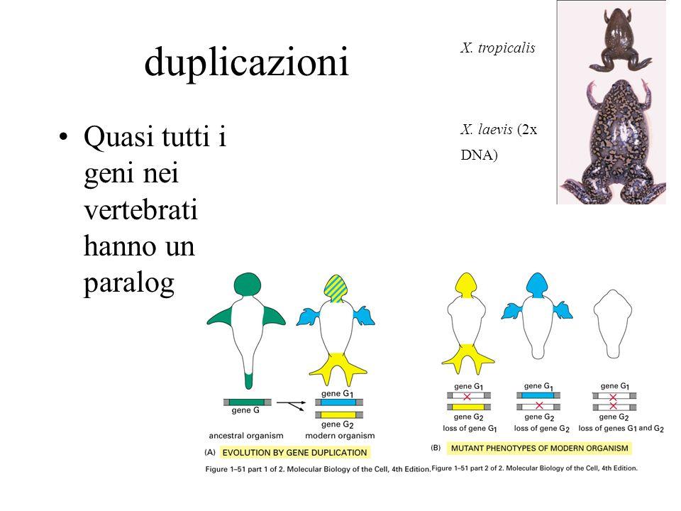 duplicazioni Quasi tutti i geni nei vertebrati hanno un paralog