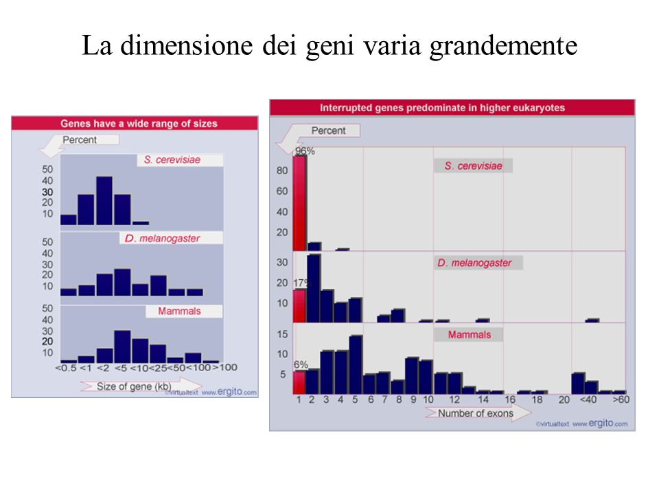 La dimensione dei geni varia grandemente