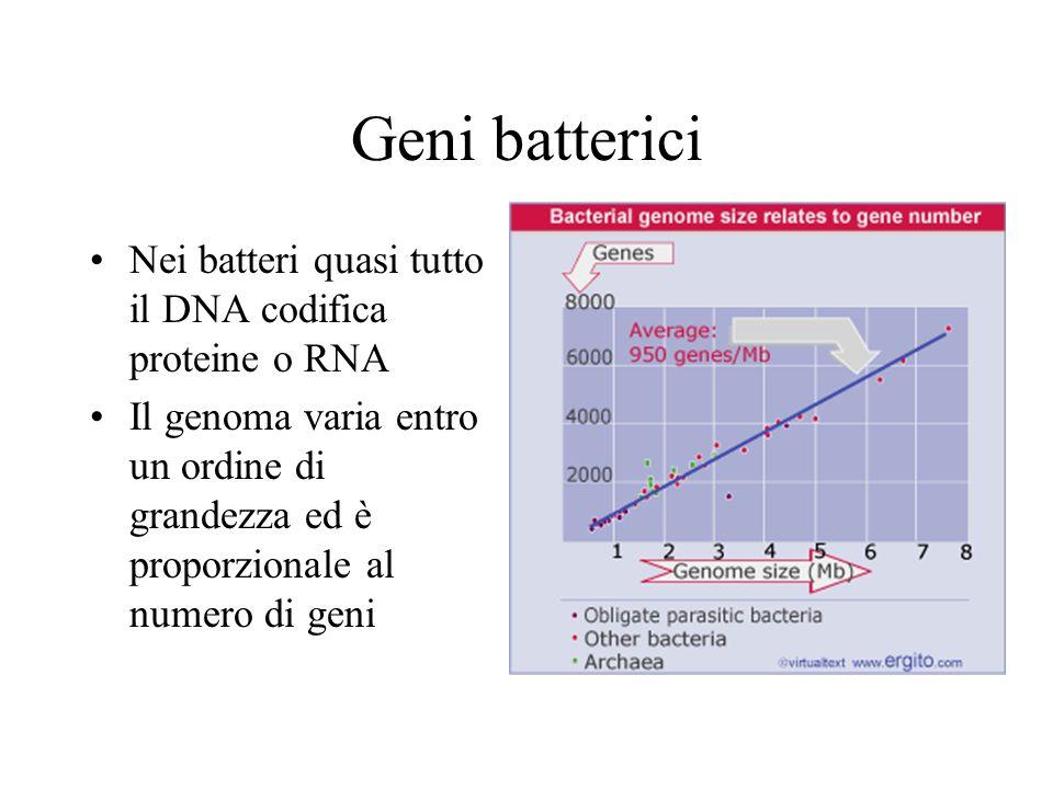 Geni batterici Nei batteri quasi tutto il DNA codifica proteine o RNA