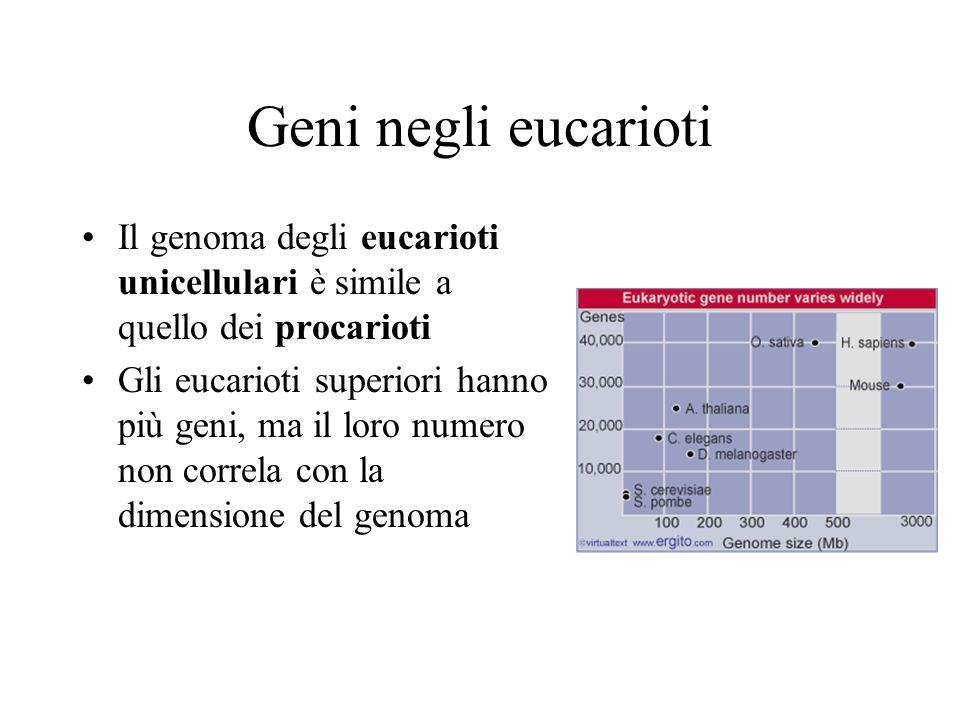 Geni negli eucarioti Il genoma degli eucarioti unicellulari è simile a quello dei procarioti.