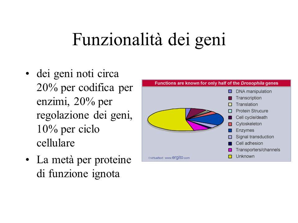 Funzionalità dei geni dei geni noti circa 20% per codifica per enzimi, 20% per regolazione dei geni, 10% per ciclo cellulare.