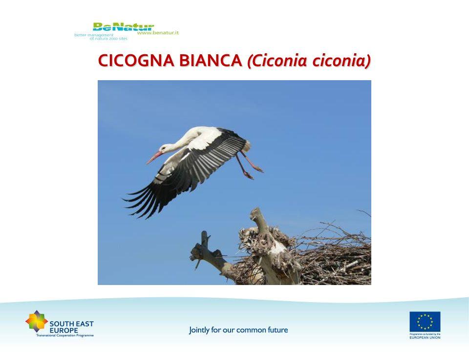CICOGNA BIANCA (Ciconia ciconia)
