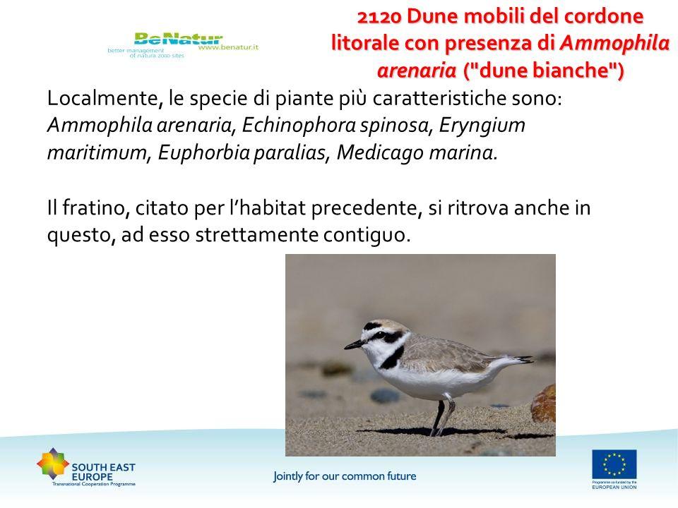 2120 Dune mobili del cordone litorale con presenza di Ammophila arenaria ( dune bianche )