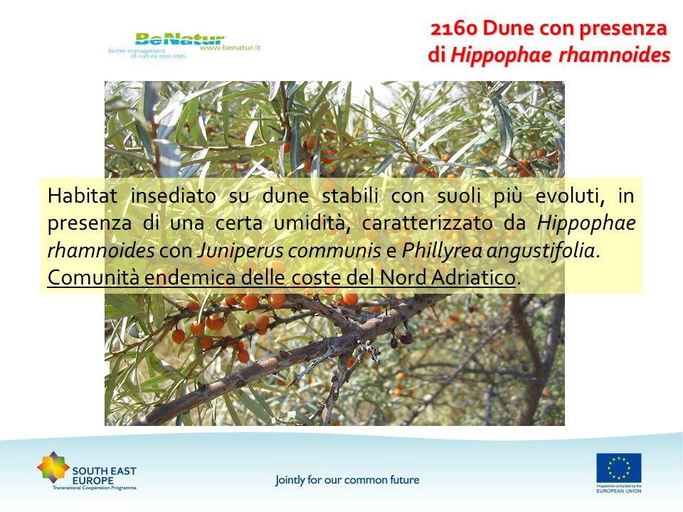 2160 Dune con presenza di Hippophae rhamnoides