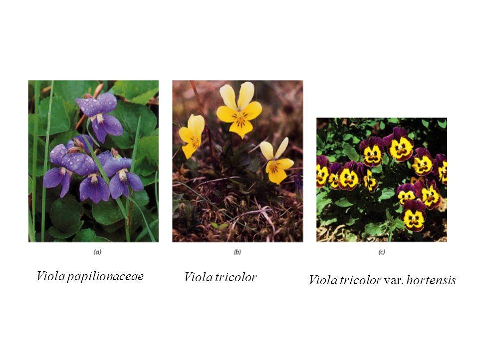 Viola papilionaceae Viola tricolor Viola tricolor var. hortensis