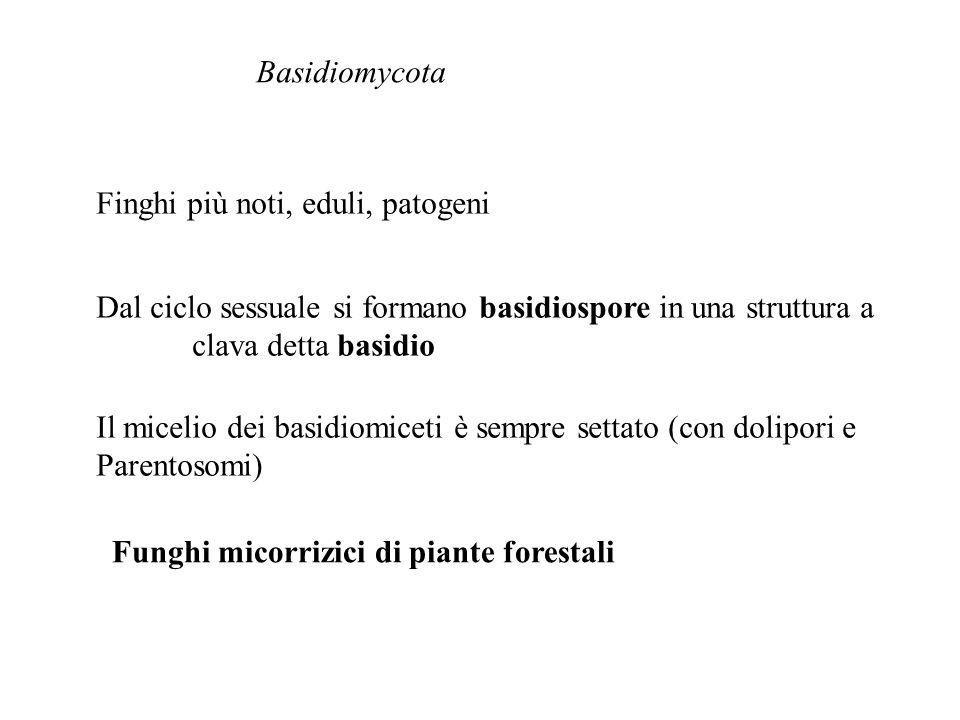 Basidiomycota Finghi più noti, eduli, patogeni. Dal ciclo sessuale si formano basidiospore in una struttura a.