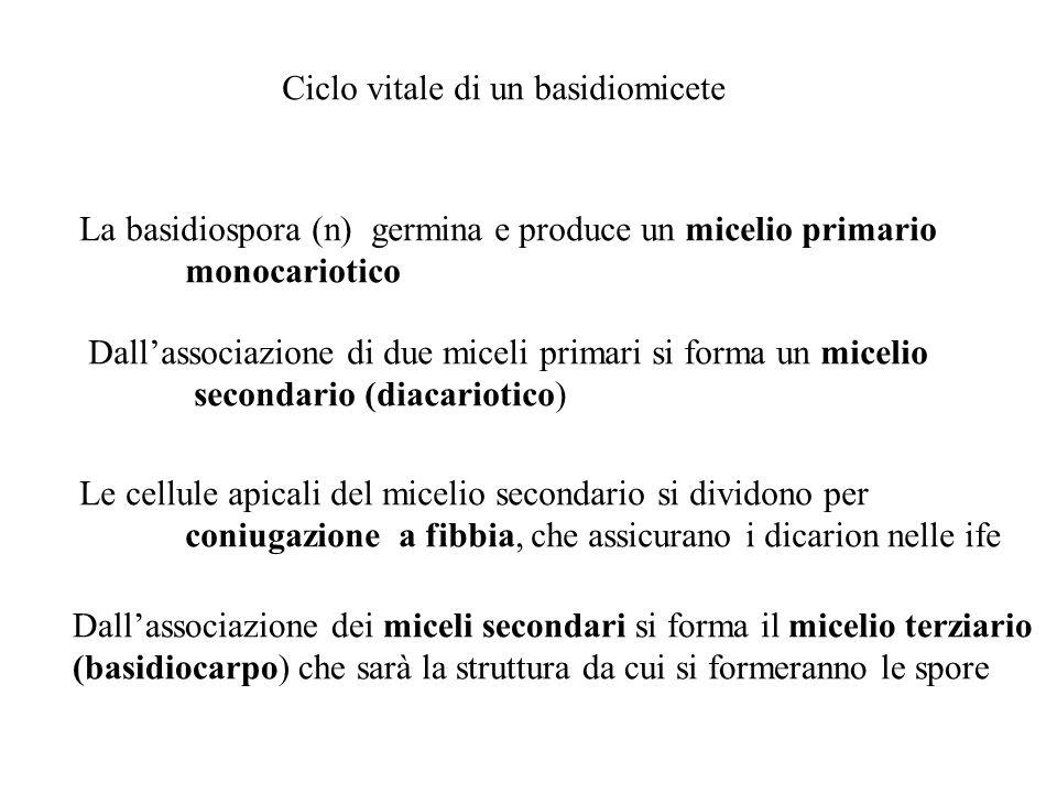 Ciclo vitale di un basidiomicete