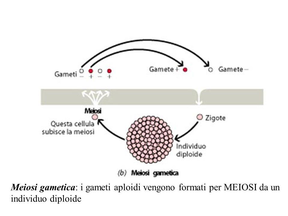 Meiosi gametica: i gameti aploidi vengono formati per MEIOSI da un