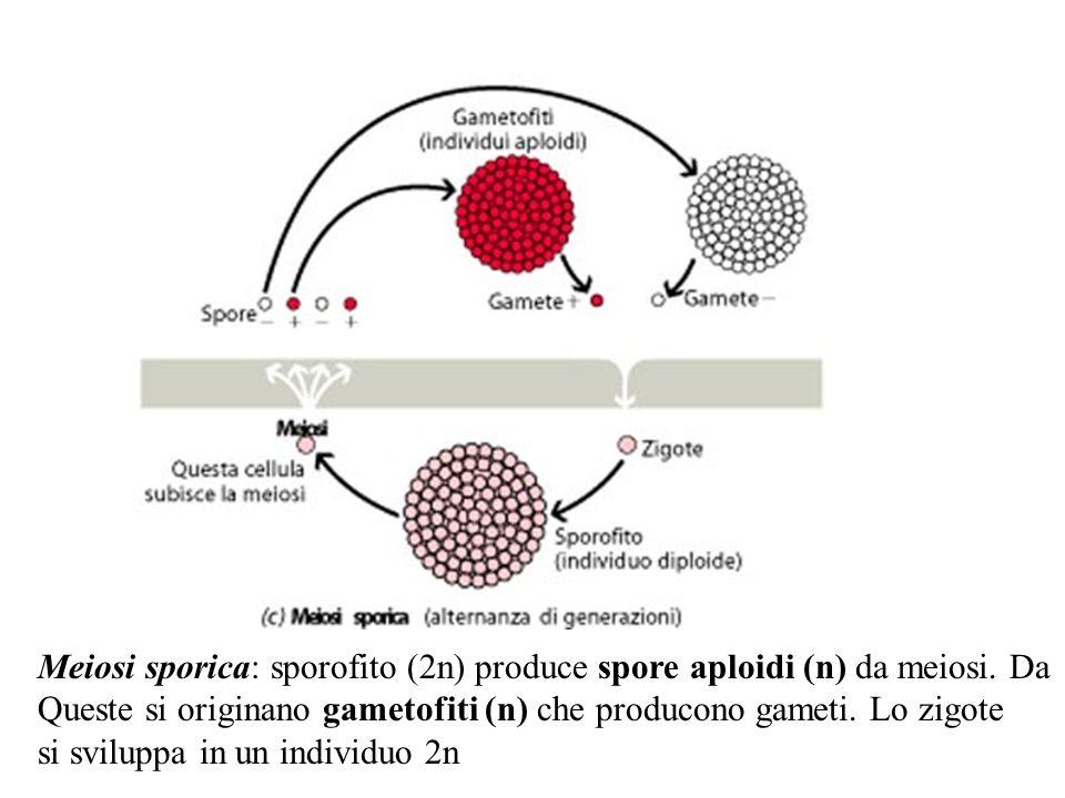 Meiosi sporica: sporofito (2n) produce spore aploidi (n) da meiosi. Da