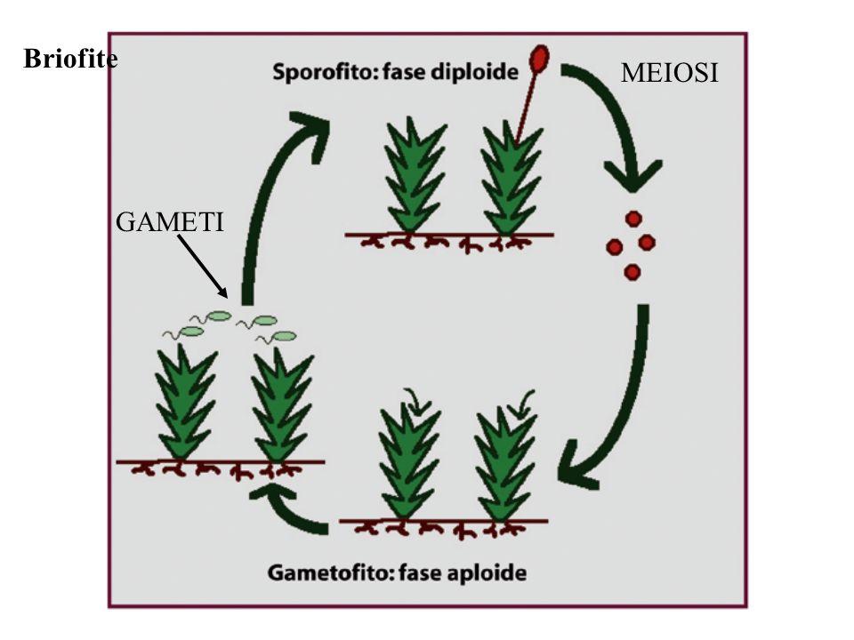 Briofite MEIOSI GAMETI