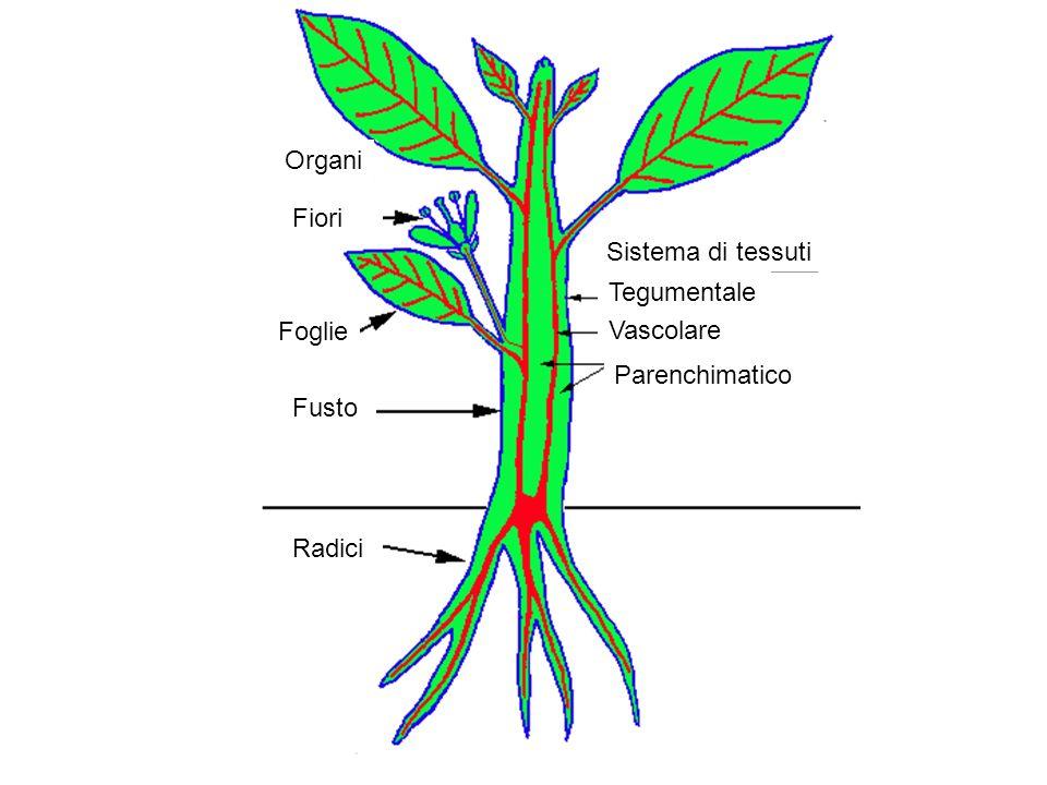 Organi Fiori Sistema di tessuti Tegumentale Foglie Vascolare Parenchimatico Fusto Radici
