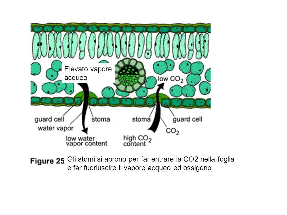 Elevato vapore acqueo. Gli stomi si aprono per far entrare la CO2 nella foglia.
