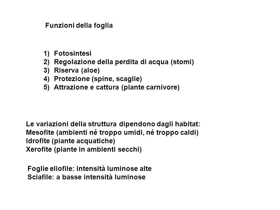 Funzioni della foglia Fotosintesi. Regolazione della perdita di acqua (stomi) Riserva (aloe) Protezione (spine, scaglie)