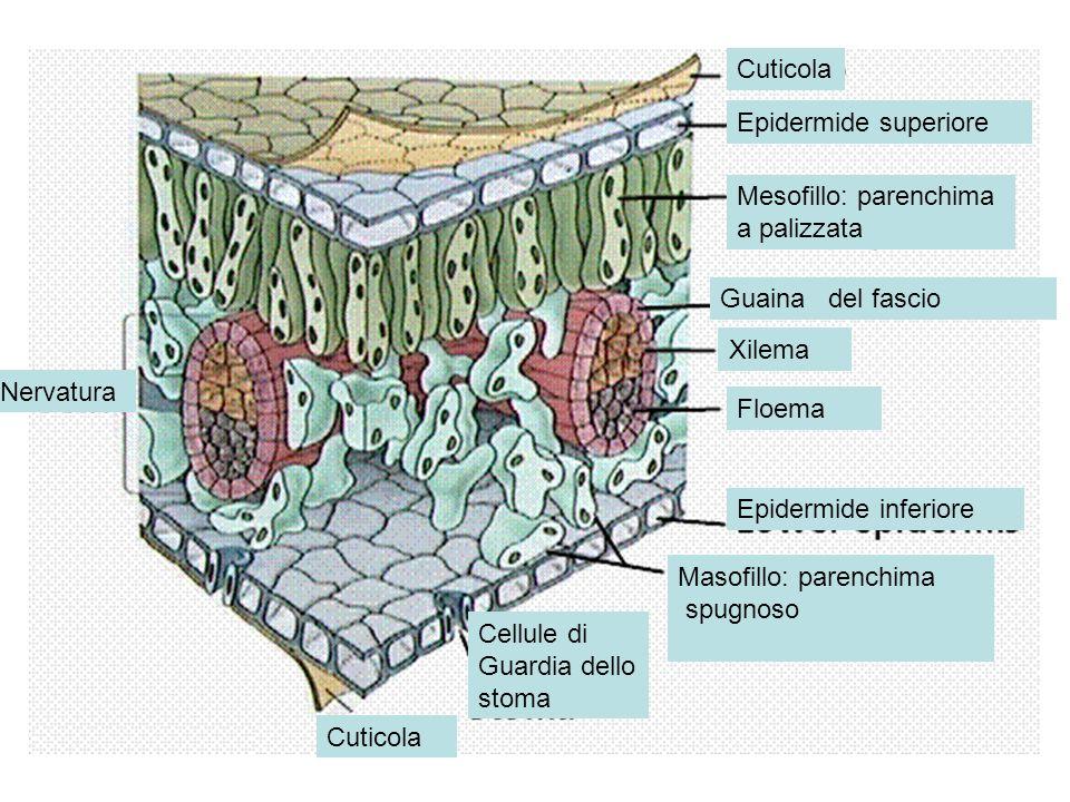 Cuticola Epidermide superiore. Mesofillo: parenchima. a palizzata. Guaina del fascio. Xilema.