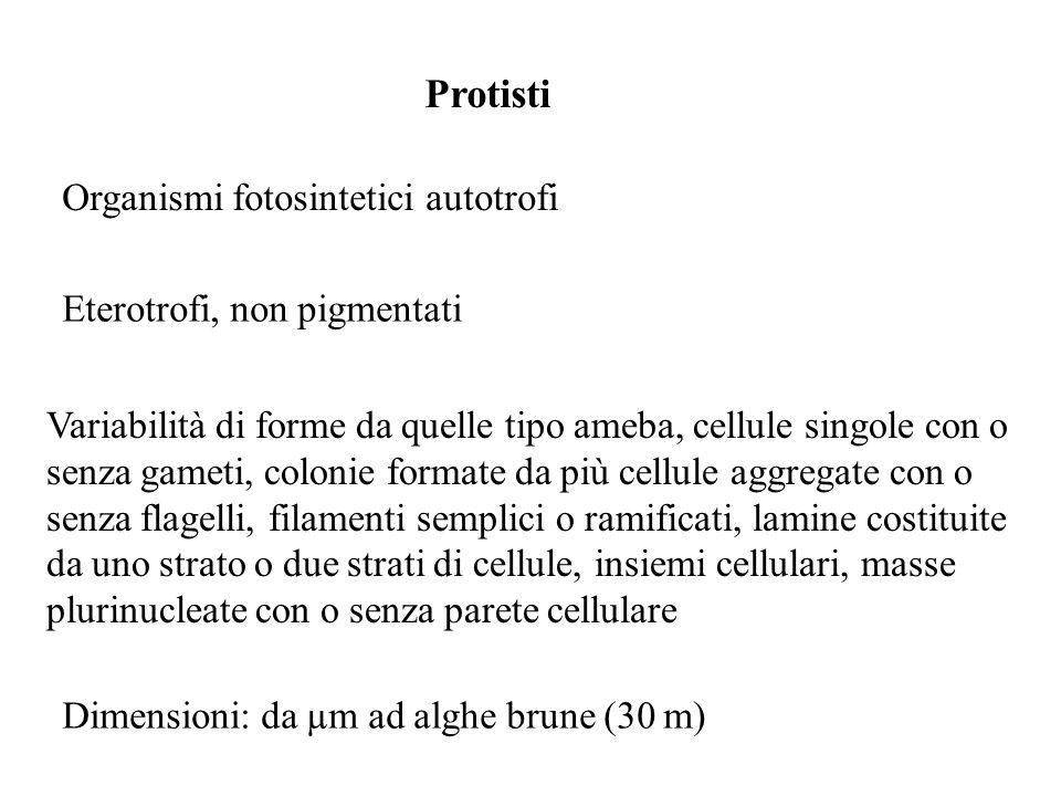 Protisti Organismi fotosintetici autotrofi Eterotrofi, non pigmentati