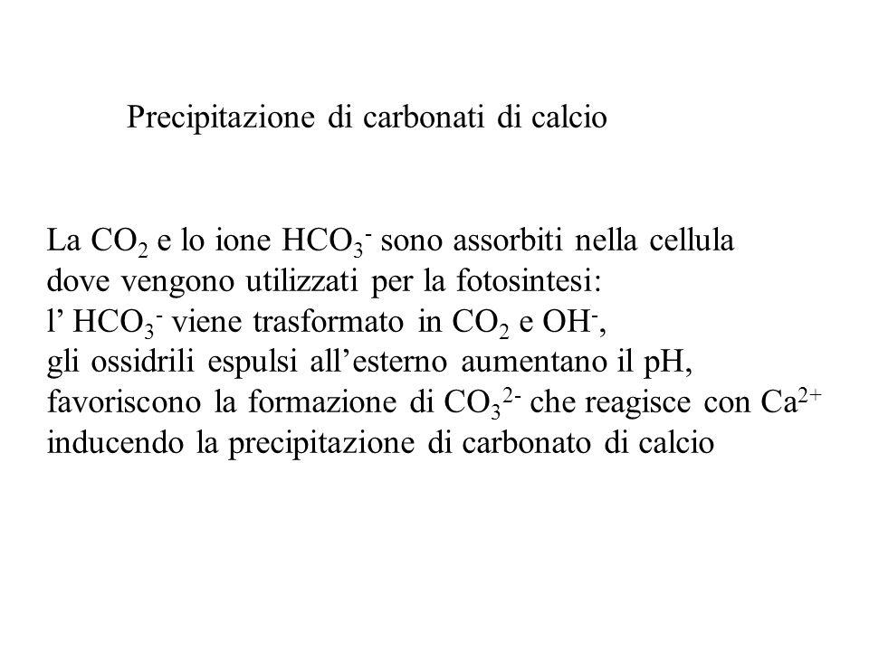Precipitazione di carbonati di calcio