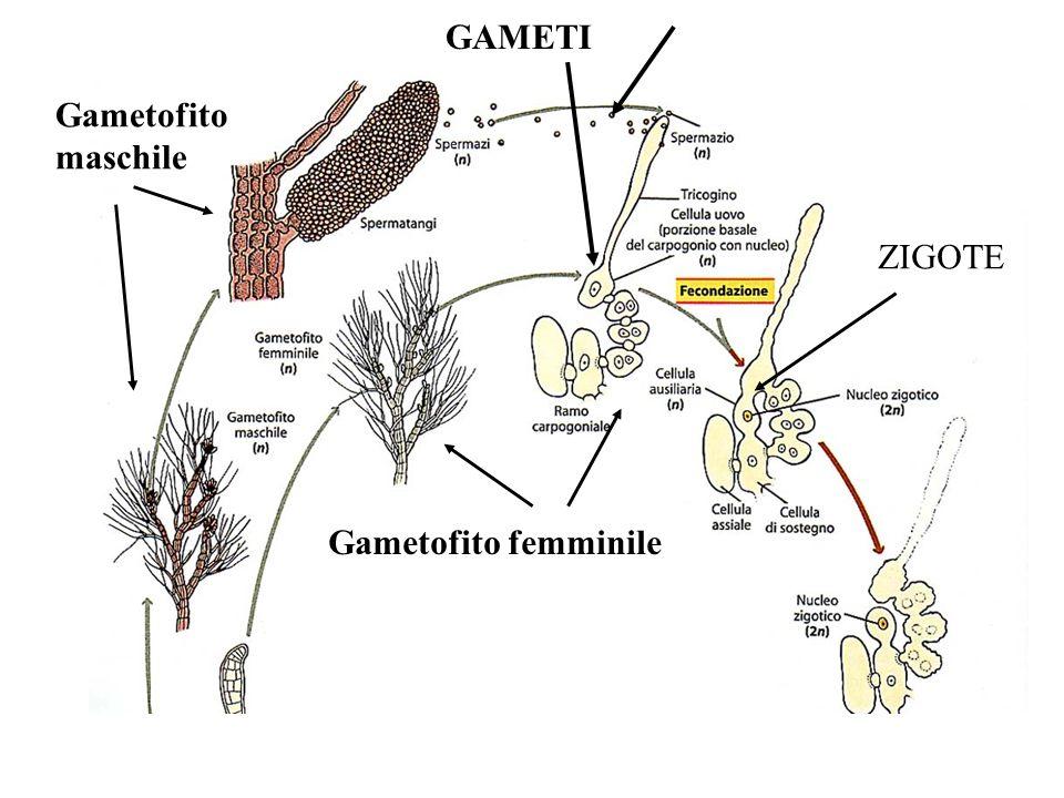 GAMETI Gametofito maschile ZIGOTE Gametofito femminile