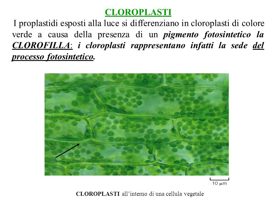 CLOROPLASTI all'interno di una cellula vegetale