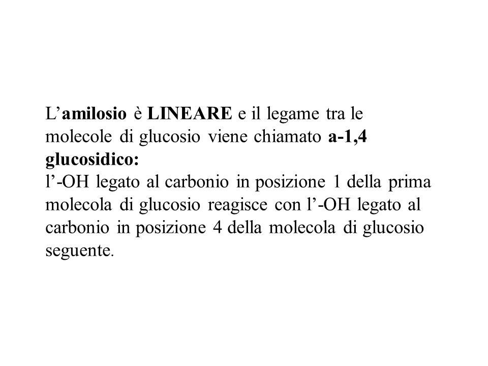 L'amilosio è LINEARE e il legame tra le molecole di glucosio viene chiamato a-1,4 glucosidico: