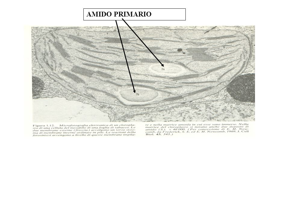 AMIDO PRIMARIO