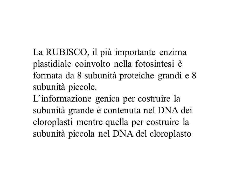 La RUBISCO, il più importante enzima plastidiale coinvolto nella fotosintesi è formata da 8 subunità proteiche grandi e 8 subunità piccole.