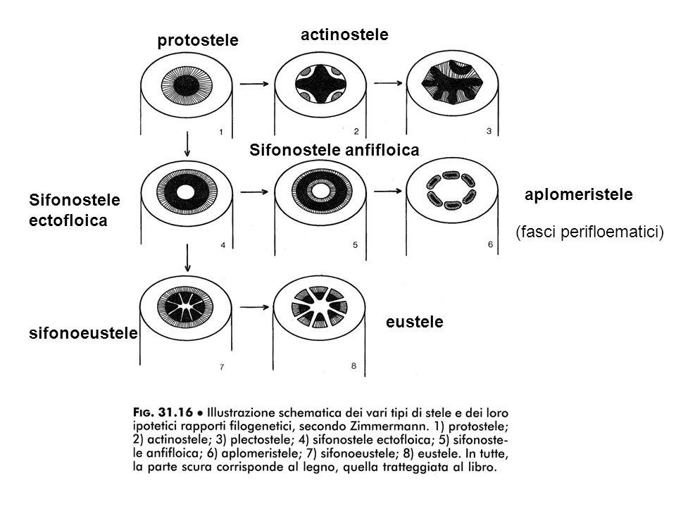 actinostele protostele. Sifonostele anfifloica. aplomeristele. Sifonostele. ectofloica. (fasci perifloematici)