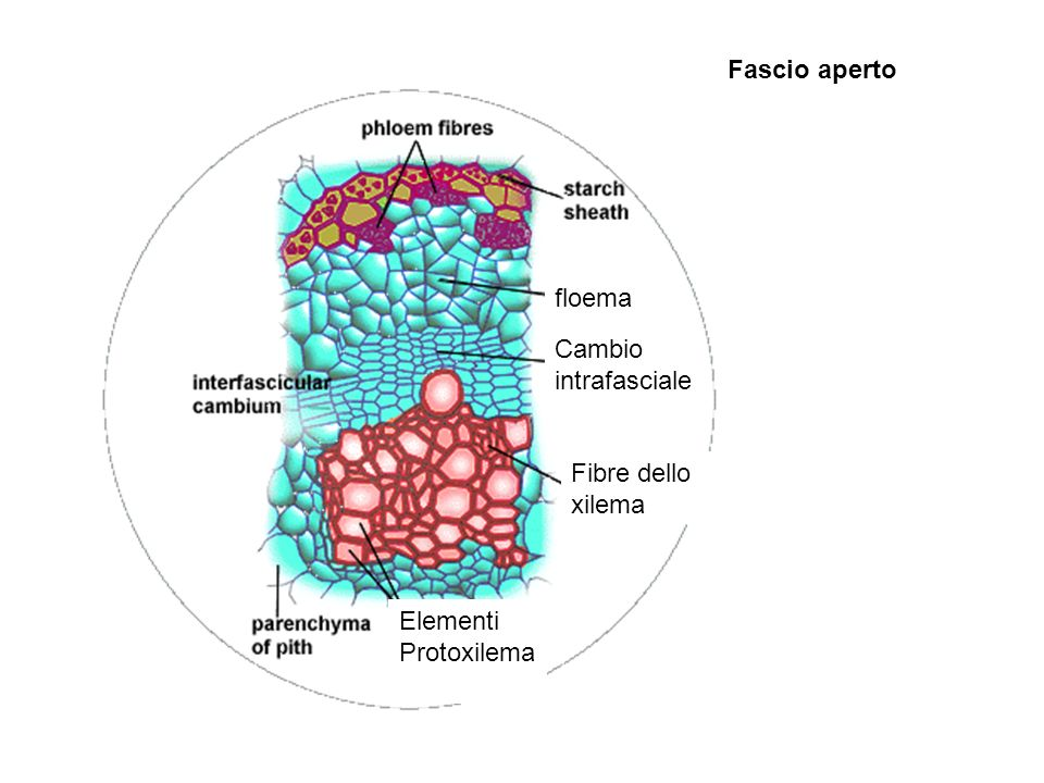 Fascio aperto floema Cambio intrafasciale Fibre dello xilema Elementi Protoxilema