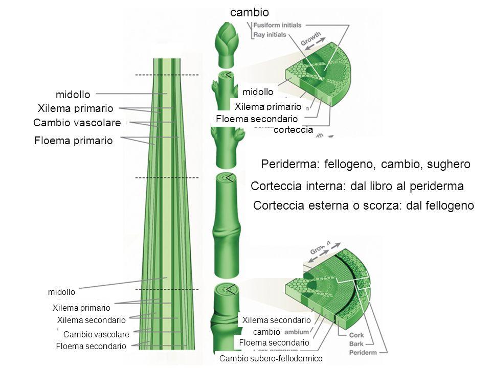 Corteccia interna: dal libro al periderma