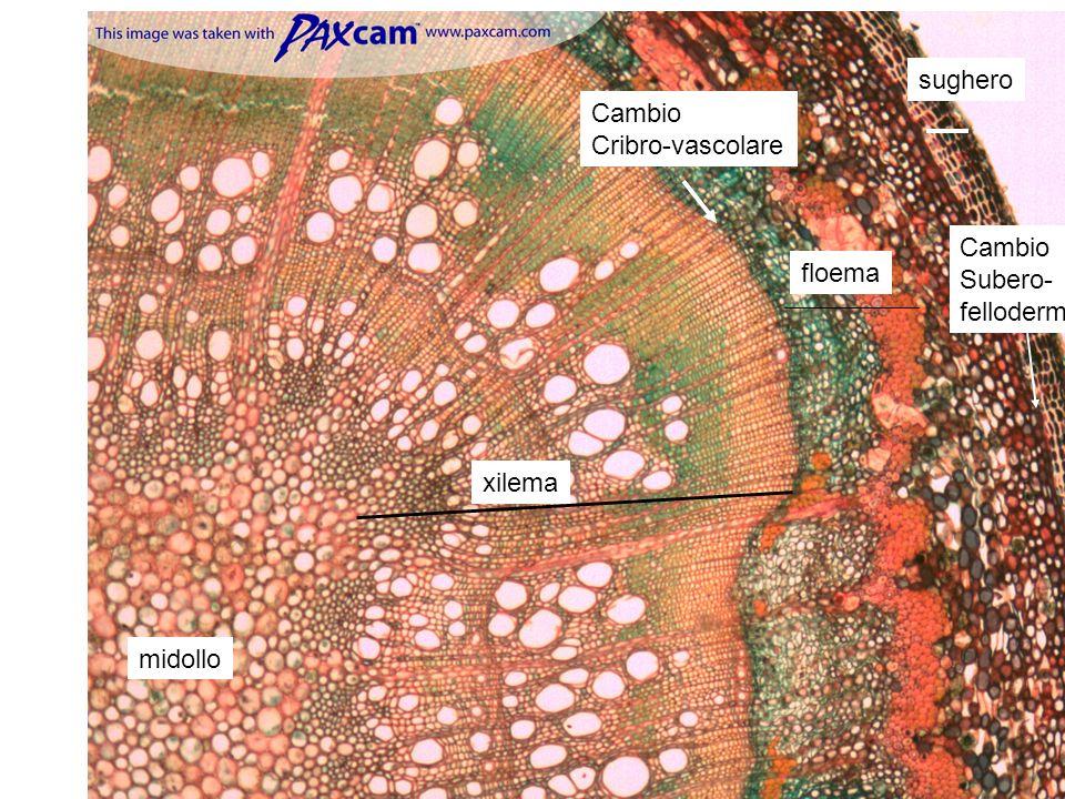 sughero Cambio Cribro-vascolare Cambio Subero- fellodermico floema xilema midollo