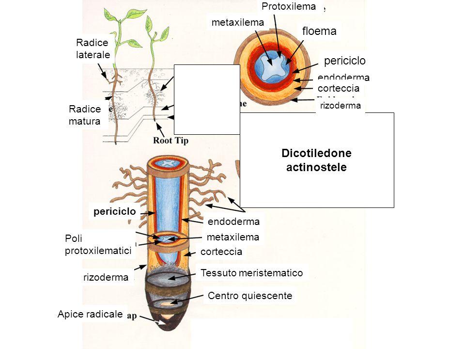 Dicotiledone actinostele
