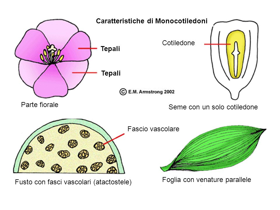 Caratteristiche di Monocotiledoni