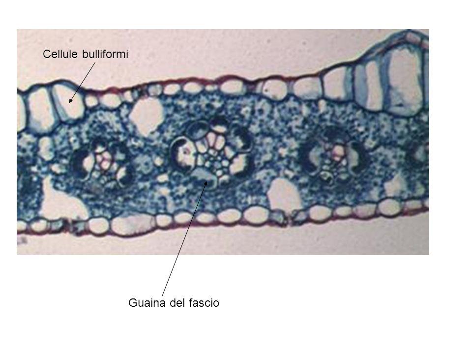 Cellule bulliformi Guaina del fascio